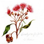 gumtree blossom watercolor