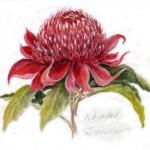 waratah watercolor