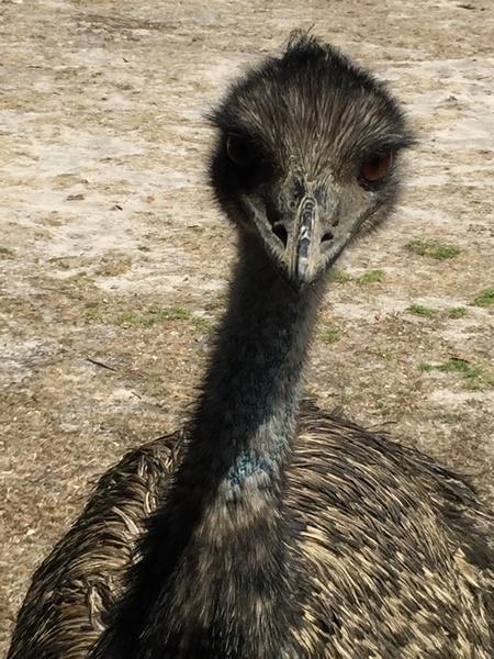 emu curious