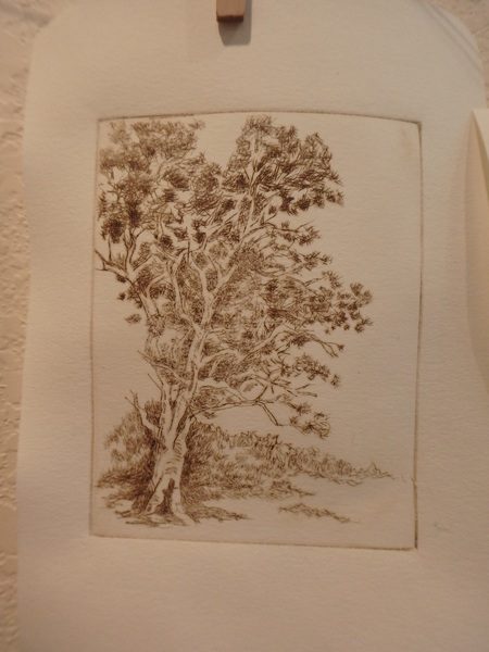 brown gum tree etching